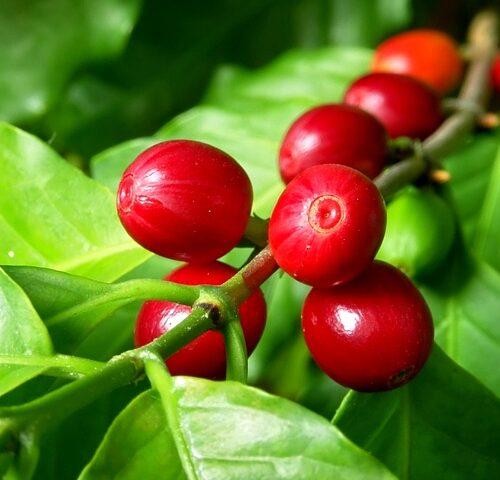 Ripe-Coffee-Cherries